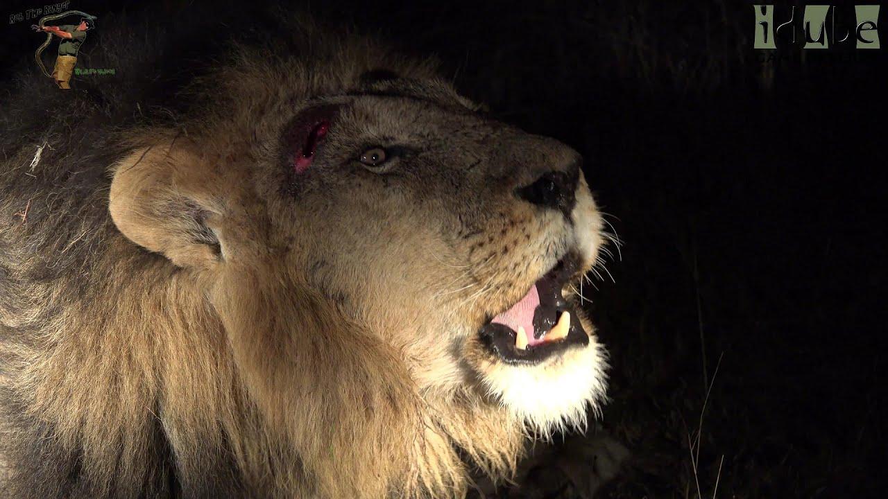The Roar Of A Wild Lion (4K Video) - YouTube - photo#47