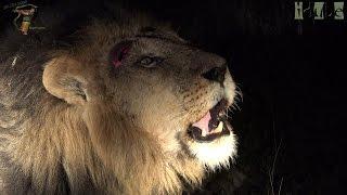 The Roar Of A Wild Lion (4K Video) Video