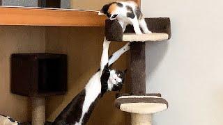 意地でも子猫を捕まえたい先住猫