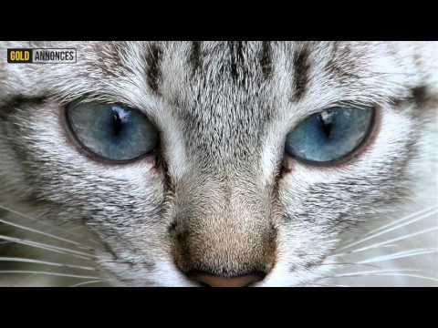 Annonce chat Suisse orientale Suisse - GoldAnnonces #animaux