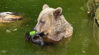 Medvědárium Kladno - Snídaně medvědice Marty v bazénu
