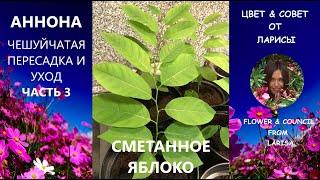аННОНА КАК  ВЫРАСТИТЬ  ДОМА ЧАСТЬ 3 ПЕРЕСАДКА И УХОД  Гуанабана как вырастить из косточки