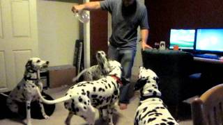 When Dalmatians Attack!!!