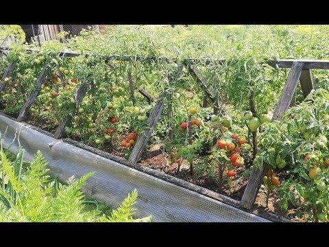 Мои томаты в открытом грунте. | выращивание | низкорослы | штамбовые | помидоров | помидоры | томатов | урожай | томаты | севере | ог
