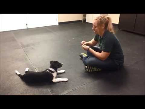 Training A Border Collie Puppy