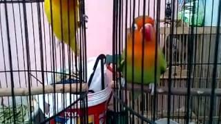 Lovebird Lutino Mata Hitam VS Ijo Standart