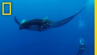 New Study: Manta Rays Prefer Staycations Over Long Migrations