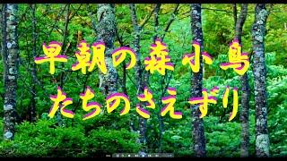 早朝の森野鳥のさえずり 自然の音・癒し 4K