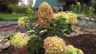 Посадка гортензии Бобо метельчатой и уход за растением