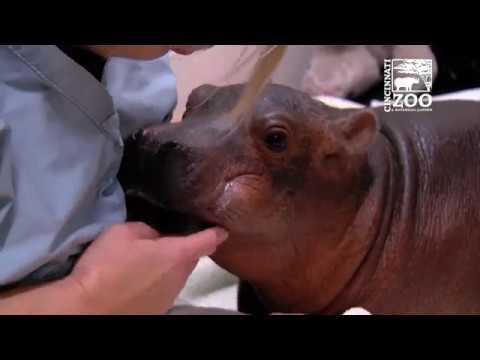Premature Baby Hippo Fiona is Eating Better - Cincinnati Zoo