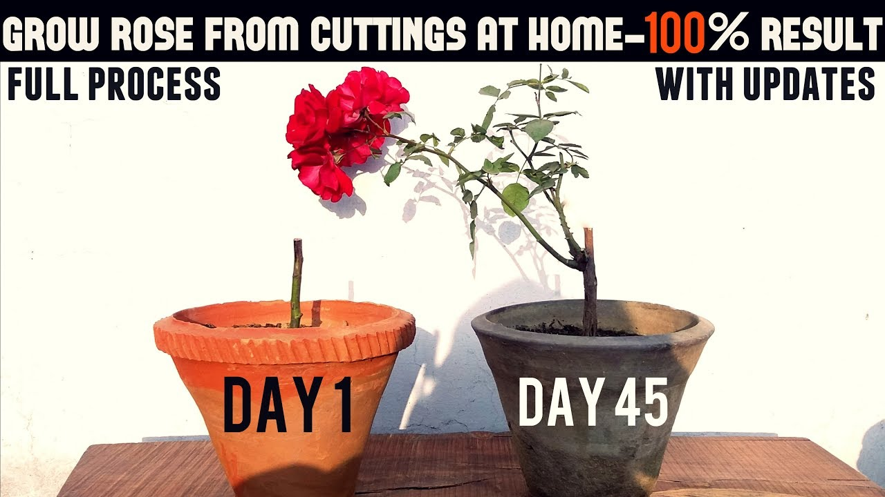 Easiest Way To Grow Rose From Cuttings Start To Finish