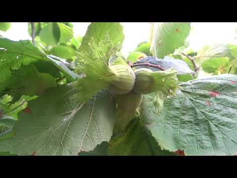 Инжир – священный плод. Часть 1 - инжир, народная