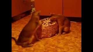 Котятки играют с корзинкой