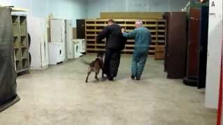 Knpv Titled Dutch Sheperd  Dog Training,obedience Training,personalprotection Dogs Miami