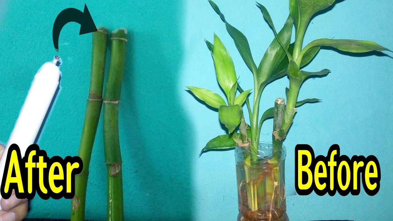 Cara Unik Tanam Pohon Bambu Sri Rejeki Biar Cepat Tumbuh Dengan Lilin Youtube