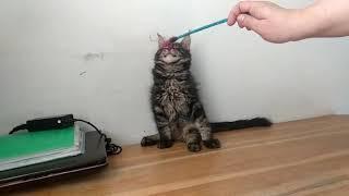 Черный мраморный мальчик котенок Мейн-кун, 3 месяца, в продаже на сайте Мейн-куны Москвы