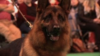 Crufts 2013 German Shepherd Dog Best of Breed - Ch Elmo Vom Huhnegrab