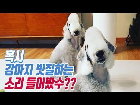 (ASMR) 강아지 빗질하는 소리 리얼사운드/pet dog Bedlington Terrier puppy combing