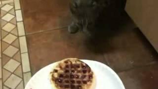 Boca The Friendly Bobcat Ii   Do Bobcats Like Waffles??