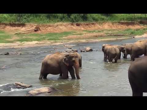 Elephant Orphanage Pinnawala Sri Lanka, Elephant Bath In The River,