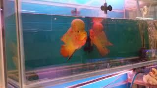 Aquarium Fish Market, Xem cá la hán giá 4 triệu vnđ