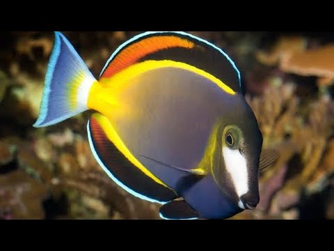 20 MOST BEAUTIFUL SURGEON FISH/TANGS #TANG #FISH #REEFAQUARIUM #BEAUTIFULFISHES #SURGEONFISH