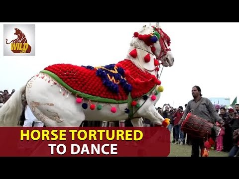Horse Videos | Horse Tortured To Dance on Dhol Drum Beats in India | Animals Brutality | Wildlife