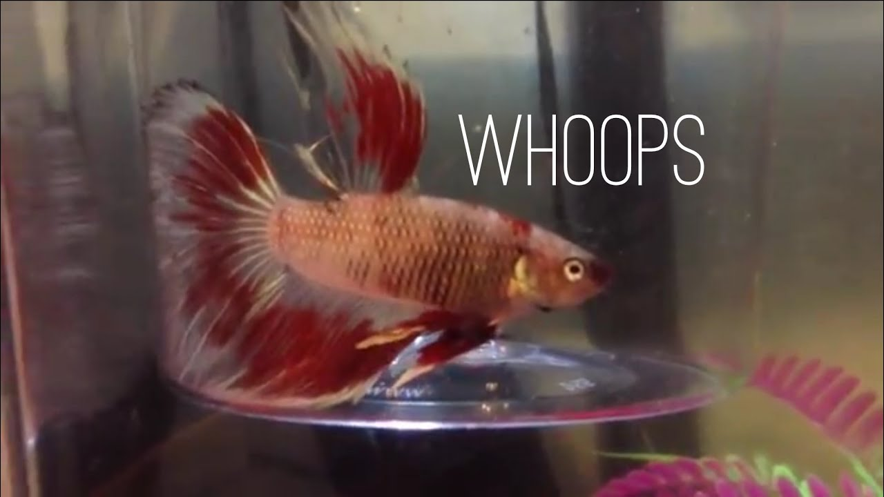 When a trip to petsmart turns into a whoopsie youtube for Betta fish tanks petsmart