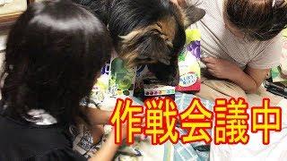 grandchild and #GermanShepherd# dog#AkitaInu #大型犬・#ジャーマンシ...