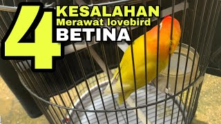 Download lagu Hindari ! 4 kasalahan merawat harian lovebird betina berdasar pengalaman saya