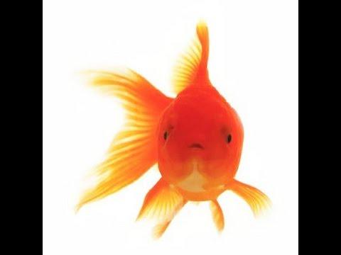 Gestaci n de los molly peces de agua fr a y otros temas for Peces de agua fria carassius