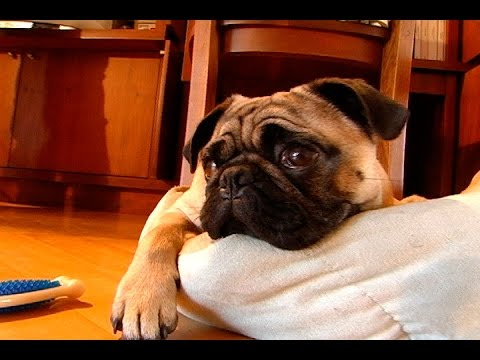 ¿Puedo darle a mi perro penicilina por una infección ocular?