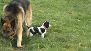 Lucy Cavalier King Charles Spaniel Puppy 1st Day Out