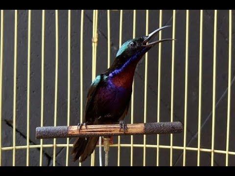 Burung Kolibri Ninja Burung Konin Bahan Youtube