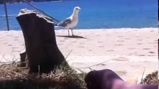 Travel to Crotia!! Pelican problem