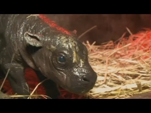 Pygmy hippo born in Chile: Chilean zoo welcomes baby pygmy hippo to the world