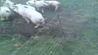 Cochon electrique