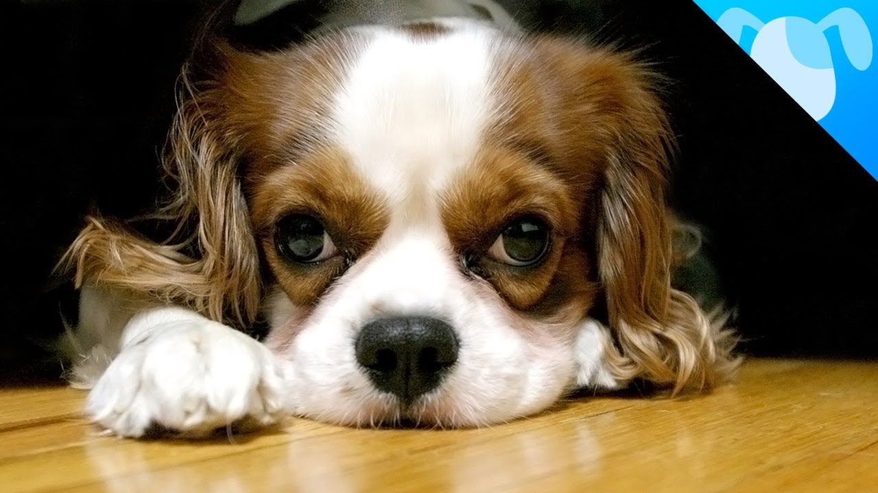 cavalier king charles spaniel facts youtube