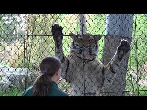Tigers Enjoy a Splash of Milk at Woodland Park Zoo