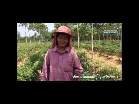 """สัมภาษณ์เกษตรกรผู้ปลูกพริกเงินล้าน """"พริกขี้หนูอัมพวา"""""""