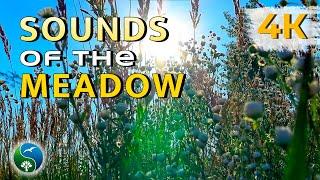 Природа, звуки поля, пение птиц, цикады, ветерок, летний день, травы, ромашки,  релакс, медитация