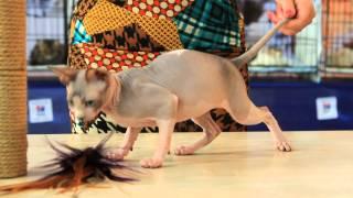 Котенок породы Канадский сфинкс.