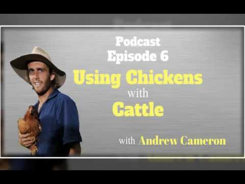 Using Chickens with Cattle with Andrew Cameron Podcast