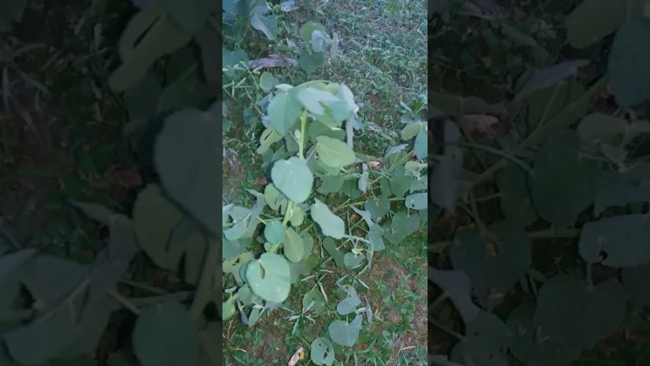 sida cordifolia riebalų degintojas
