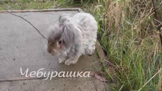 Кролики немецкая ангора