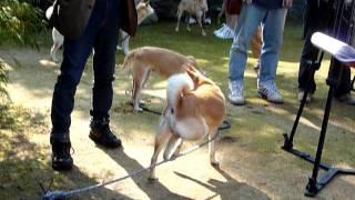 2011.10.29鳥取の湯梨浜の尾崎邸で開催された山陰柴犬鑑賞会の様子.