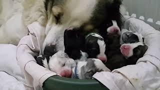 Щенки алабая среднеазиатская овчарка alabai puppies
