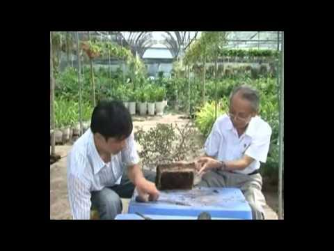 Kỹ thuật trồng và chăm sóc cây cảnh P 4/4 * Kỹ thuật Bonsai cây cảnh - bonsai styling techniques