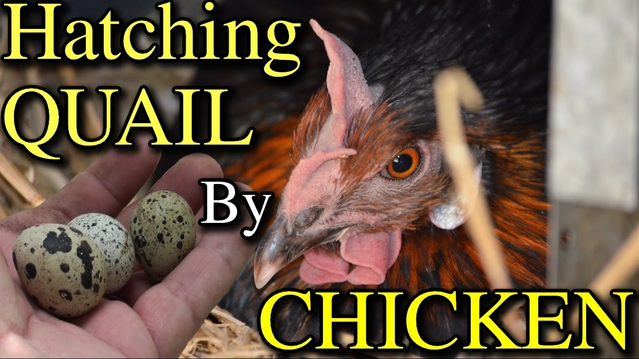Use Chickens to Hatch Out Quail Eggs Incubation Experiment