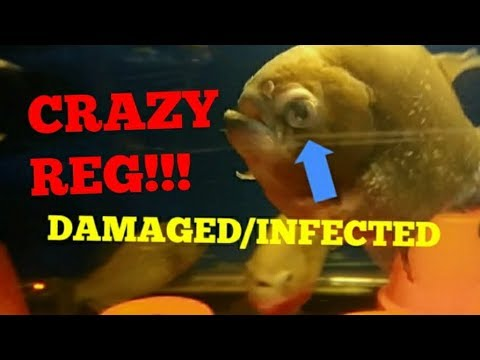 Treating A Damaged And Infected Fishes Eye (REG MY PIRANHA FISH)